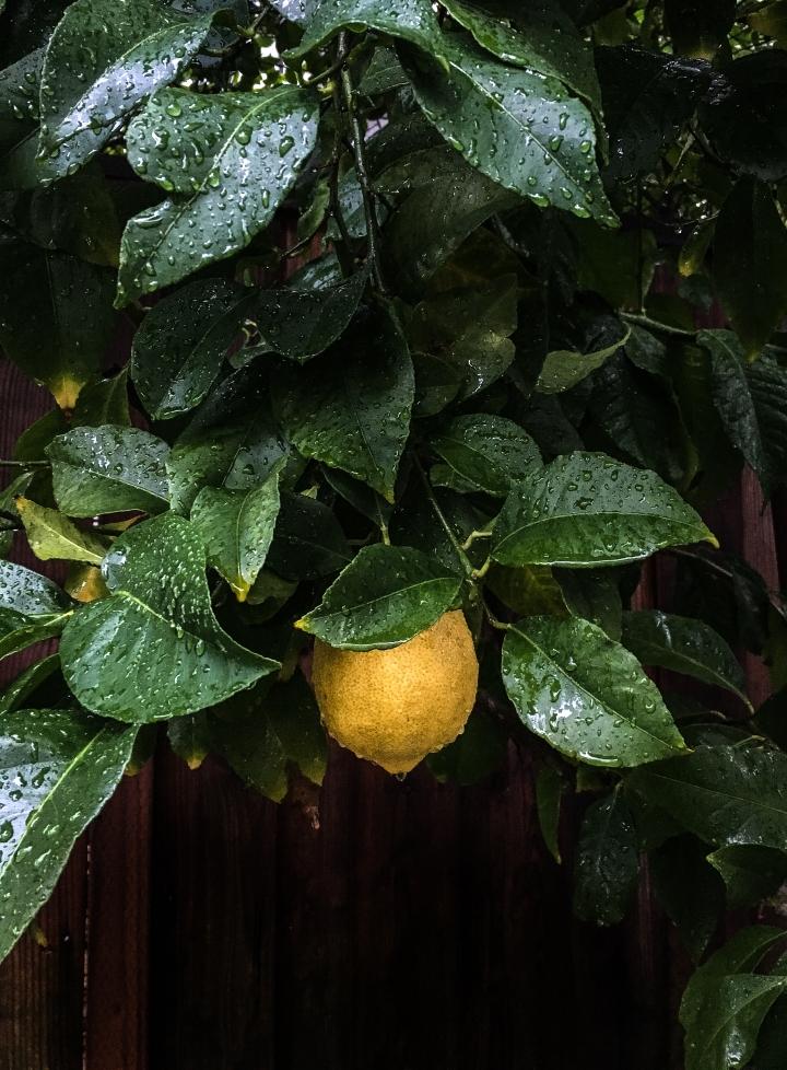Lemon tart tree